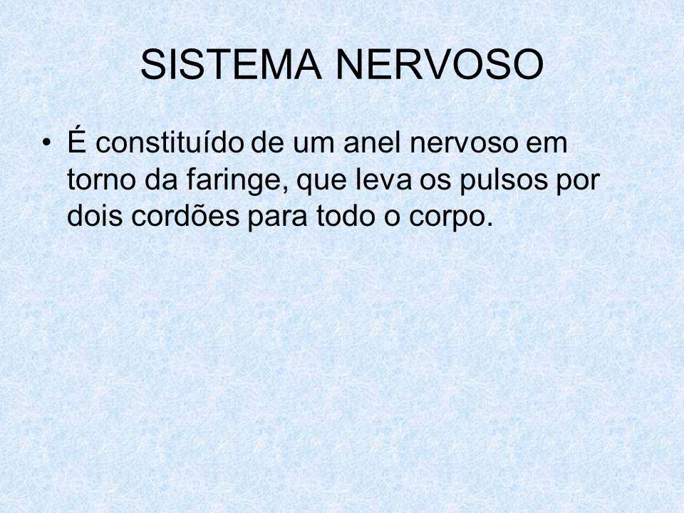 SISTEMA NERVOSO É constituído de um anel nervoso em torno da faringe, que leva os pulsos por dois cordões para todo o corpo.