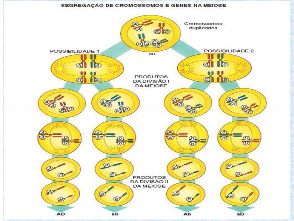 Genes localizados em pares diferentes de cromossomos homólogos separam- se independentemente durante a meiose Formam- se 4 tipos de gametas ( 25% cada)