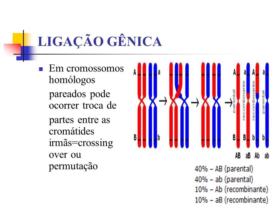 LIGAÇÃO GÊNICA Em cromossomos homólogos pareados pode ocorrer troca de partes entre as cromátides irmãs=crossing over ou permutação