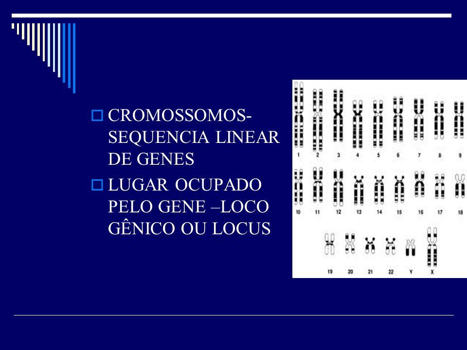 CROMOSSOMOS- SEQUENCIA LINEAR DE GENES LUGAR OCUPADO PELO GENE –LOCO GÊNICO OU LOCUS