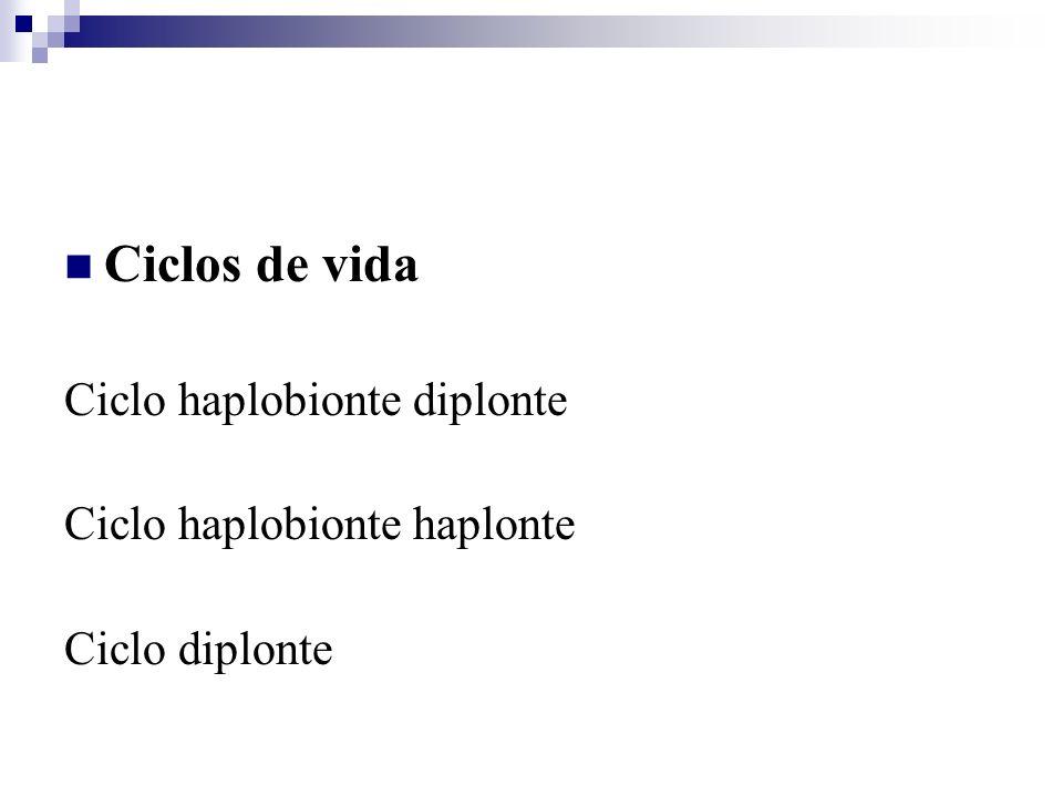 Ciclos de vida Ciclo haplobionte diplonte Ciclo haplobionte haplonte Ciclo diplonte
