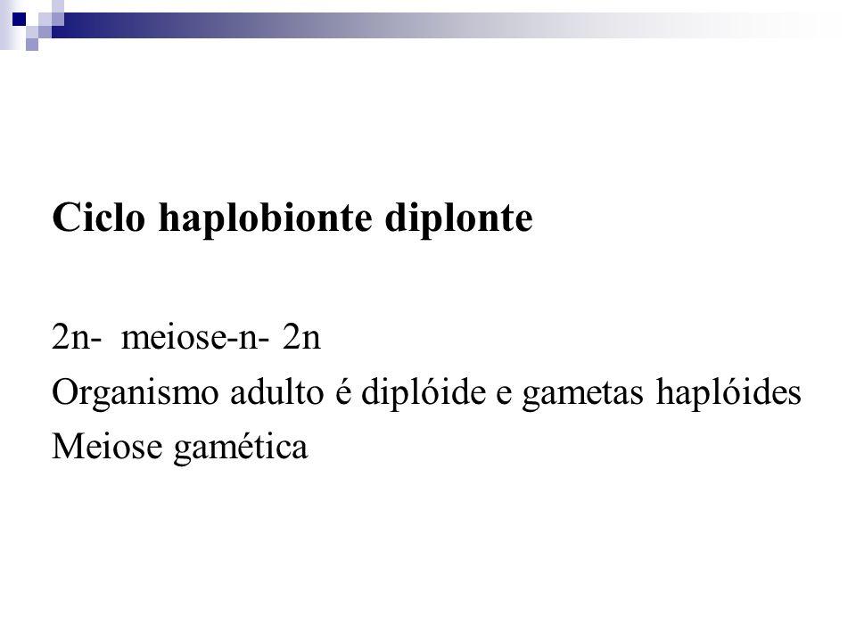 Ciclo haplobionte diplonte 2n- meiose-n- 2n Organismo adulto é diplóide e gametas haplóides Meiose gamética