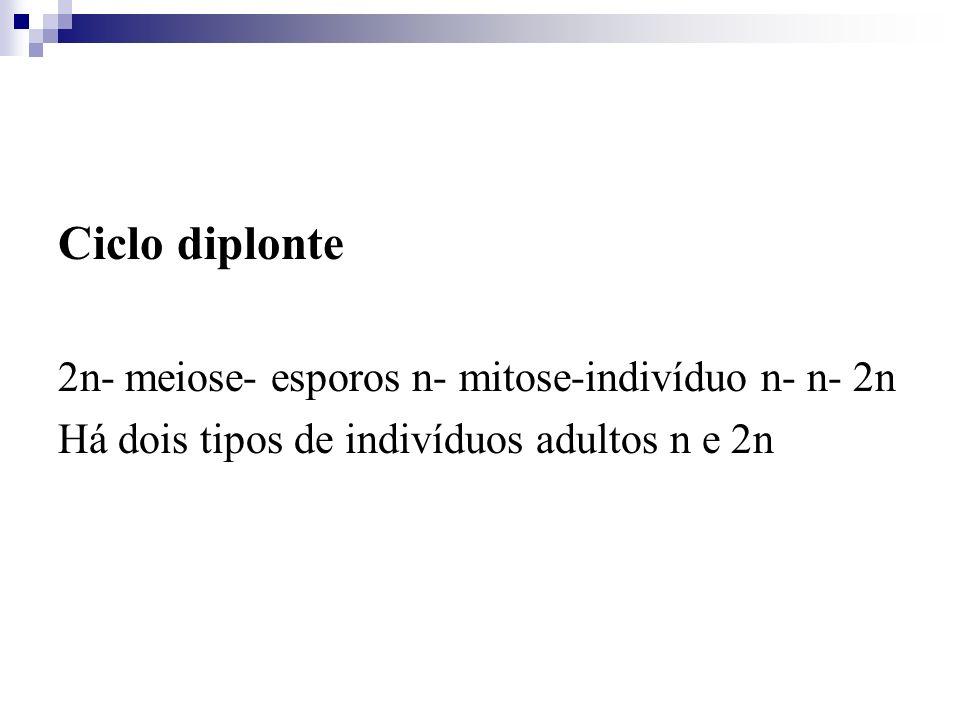 Ciclo diplonte 2n- meiose- esporos n- mitose-indivíduo n- n- 2n Há dois tipos de indivíduos adultos n e 2n