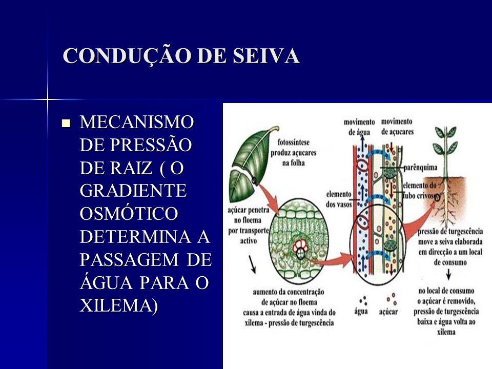 CONDUÇÃO DE SEIVA MECANISMO DE PRESSÃO DE RAIZ ( O GRADIENTE OSMÓTICO DETERMINA A PASSAGEM DE ÁGUA PARA O XILEMA) MECANISMO DE PRESSÃO DE RAIZ ( O GRA
