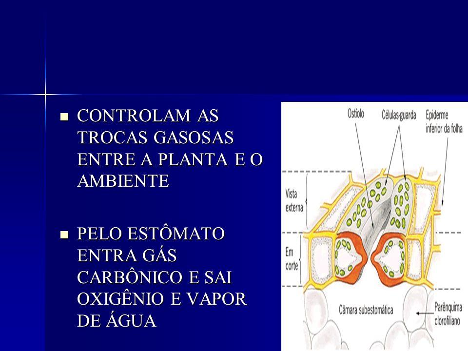 CONTROLAM AS TROCAS GASOSAS ENTRE A PLANTA E O AMBIENTE CONTROLAM AS TROCAS GASOSAS ENTRE A PLANTA E O AMBIENTE PELO ESTÔMATO ENTRA GÁS CARBÔNICO E SA