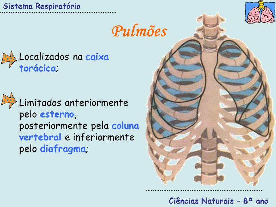 Sistema Respiratório Ciências Naturais – 8º ano Pulmões Localizados na caixa torácica; Limitados anteriormente pelo esterno, posteriormente pela colun