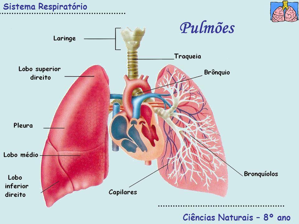 Ciências Naturais – 8º ano Sistema Respiratório Pulmões