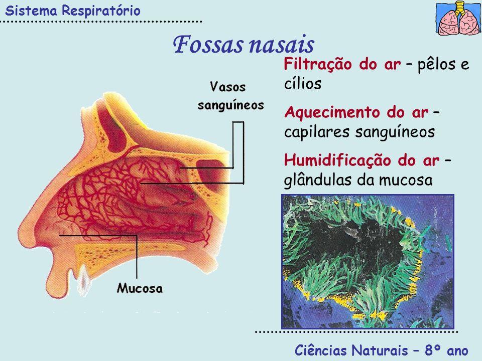 Fossas nasais Sistema Respiratório Ciências Naturais – 8º ano Filtração do ar – pêlos e cílios Aquecimento do ar – capilares sanguíneos Humidificação
