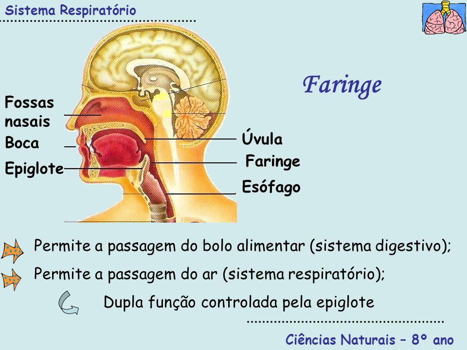 Ciências Naturais – 8º ano Sistema Respiratório Faringe Úvula Faringe Epiglote Boca Fossas nasais Esófago Permite a passagem do bolo alimentar (sistem