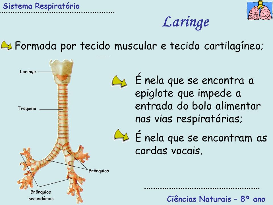Ciências Naturais – 8º ano Sistema Respiratório Laringe É nela que se encontra a epiglote que impede a entrada do bolo alimentar nas vias respiratória