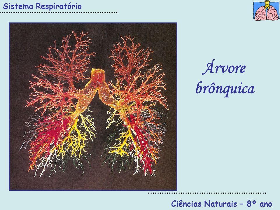 Sistema Respiratório Ciências Naturais – 8º ano Árvore brônquica