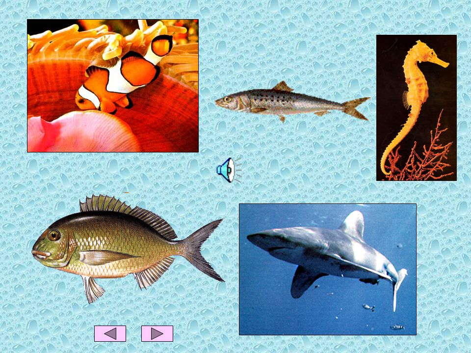 OS PEIXES Características dos peixes Os peixes vivem e respiram dentro da água, através de guelras. Nascem de ovos. Têm o corpo coberto de escamas. Pa