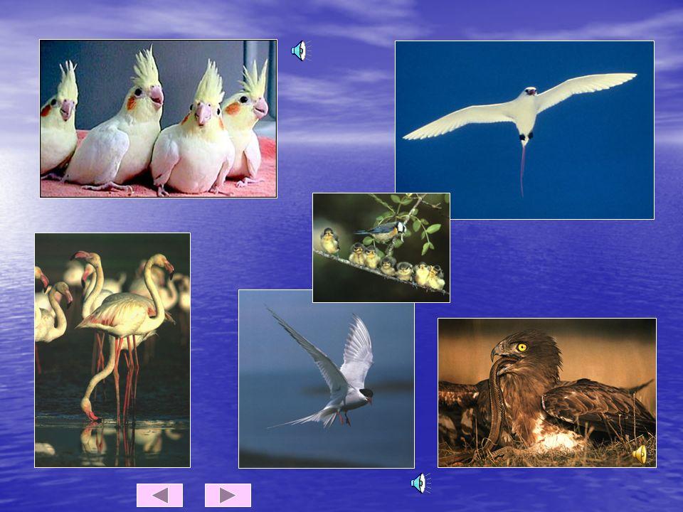 AS AVES Características das aves Têm o corpo coberto de penas. Têm o corpo coberto de penas. Nascem de ovos. Respiram por pulmões Nascem de ovos. Resp
