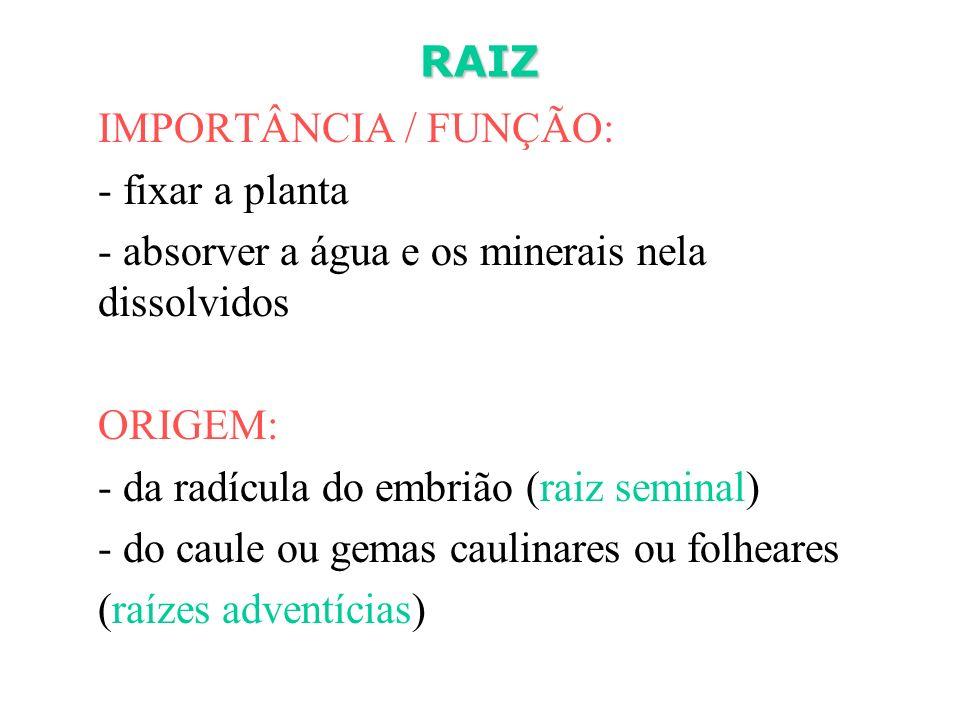 RAIZ IMPORTÂNCIA / FUNÇÃO: - fixar a planta - absorver a água e os minerais nela dissolvidos ORIGEM: - da radícula do embrião (raiz seminal) - do caul