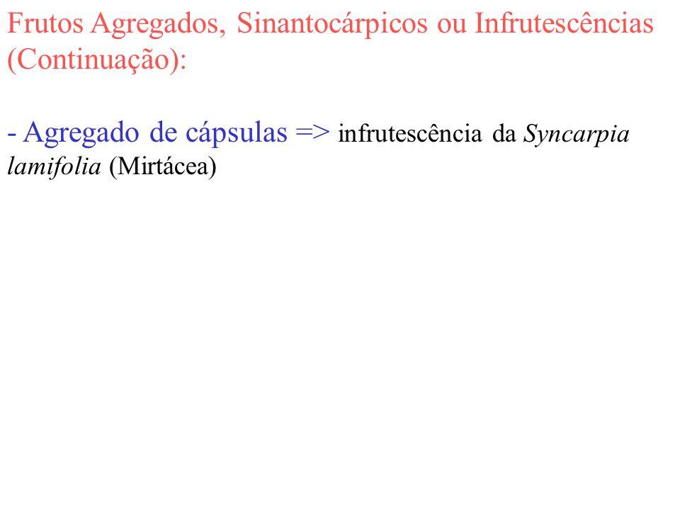 Frutos Agregados, Sinantocárpicos ou Infrutescências (Continuação): - Agregado de cápsulas => infrutescência da Syncarpia lamifolia (Mirtácea)