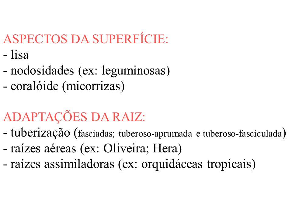 ASPECTOS DA SUPERFÍCIE: - lisa - nodosidades (ex: leguminosas) - coralóide (micorrizas) ADAPTAÇÕES DA RAIZ: - tuberização ( fasciadas; tuberoso-apruma