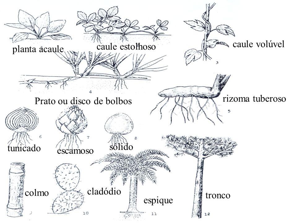 Prato ou disco de bolbos tunicado escamoso sólido planta acaule caule estolhoso caule volúvel rizoma tuberoso colmo cladódio espique tronco