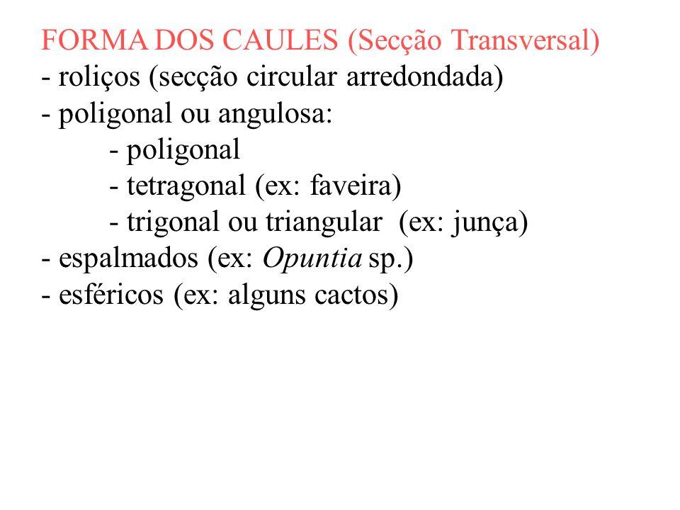 FORMA DOS CAULES (Secção Transversal) - roliços (secção circular arredondada) - poligonal ou angulosa: - poligonal - tetragonal (ex: faveira) - trigon