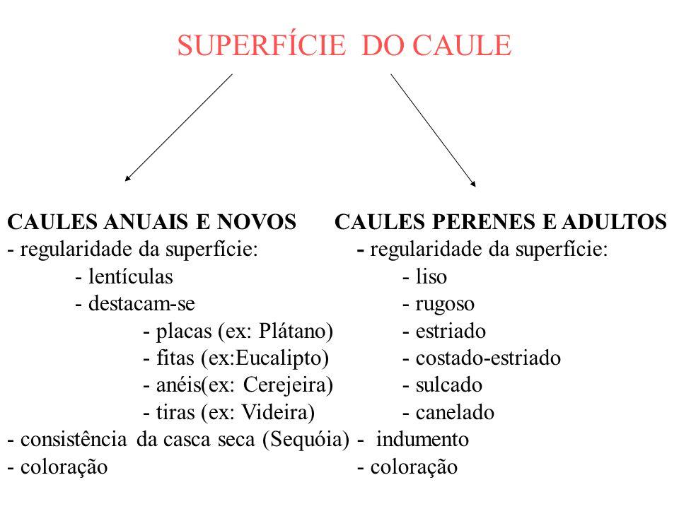 SUPERFÍCIE DO CAULE CAULES ANUAIS E NOVOS - regularidade da superfície: - lentículas - destacam-se - placas (ex: Plátano) - fitas (ex:Eucalipto) - ané