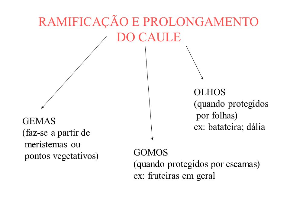 RAMIFICAÇÃO E PROLONGAMENTO DO CAULE GEMAS (faz-se a partir de meristemas ou pontos vegetativos) GOMOS (quando protegidos por escamas) ex: fruteiras e