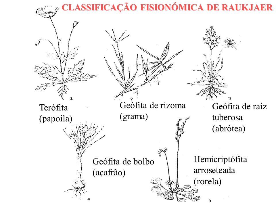 CLASSIFICAÇÃO FISIONÓMICA DE RAUKJAER Terófita (papoila) Geófita de rizoma (grama) Geófita de raiz tuberosa (abrótea) Geófita de bolbo (açafrão) Hemic