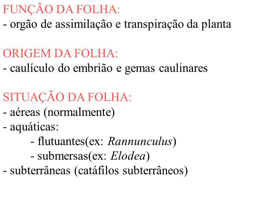 FUNÇÃO DA FOLHA: - orgão de assimilação e transpiração da planta ORIGEM DA FOLHA: - caulículo do embrião e gemas caulinares SITUAÇÃO DA FOLHA: - aérea
