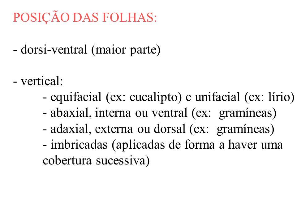 POSIÇÃO DAS FOLHAS: - dorsi-ventral (maior parte) - vertical: - equifacial (ex: eucalipto) e unifacial (ex: lírio) - abaxial, interna ou ventral (ex: