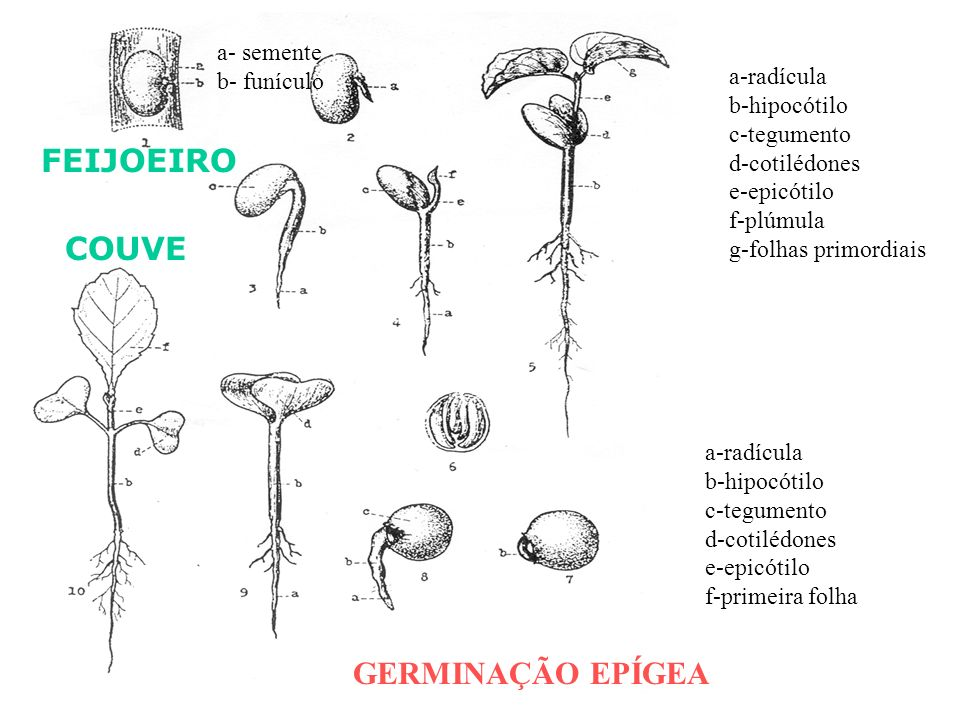 GERMINAÇÃO EPÍGEA a- semente b- funículo a-radícula b-hipocótilo c-tegumento d-cotilédones e-epicótilo f-plúmula g-folhas primordiais FEIJOEIRO COUVE