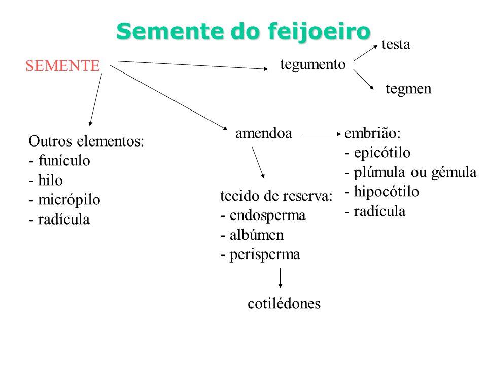 SEMENTE Semente do feijoeiro tegumento testa tegmen amendoa Outros elementos: - funículo - hilo - micrópilo - radícula embrião: - epicótilo - plúmula