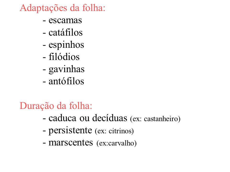 Adaptações da folha: - escamas - catáfilos - espinhos - filódios - gavinhas - antófilos Duração da folha: - caduca ou decíduas (ex: castanheiro) - per