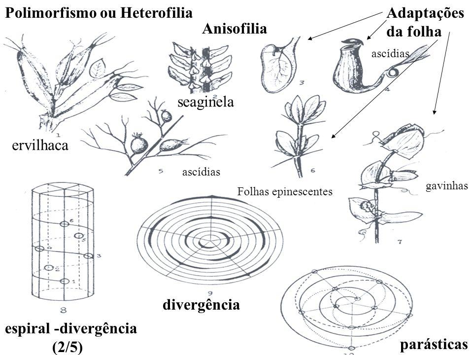 Polimorfismo ou Heterofilia Anisofilia ervilhaca seaginela Adaptações da folha espiral -divergência (2/5) divergência parásticas gavinhas Folhas epine