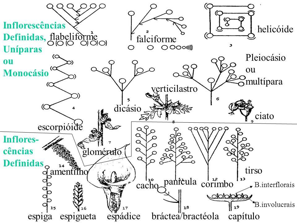 flabeliforme Inflorescências Definidas, Uníparas ou Monocásio escorpióide helicóide falciforme dicásio Pleiocásio ou multípara verticilastro ciato ame