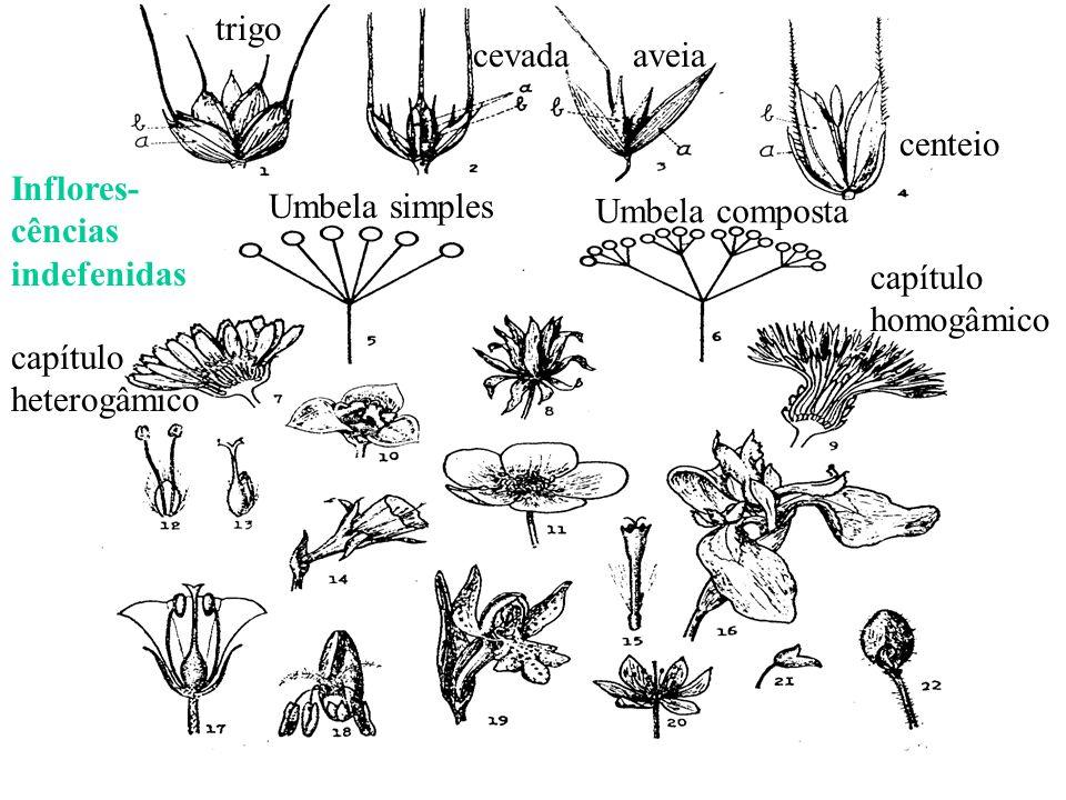 Inflores- cências indefenidas trigo cevadaaveia centeio Umbela simples Umbela composta capítulo heterogâmico capítulo homogâmico