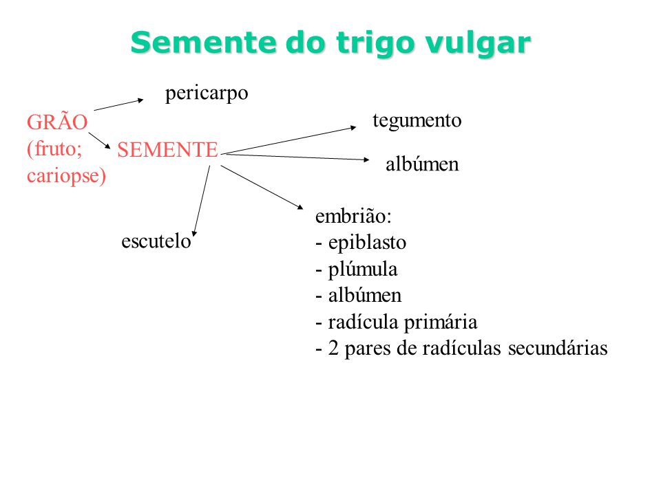 GRÃO (fruto; cariopse) tegumento embrião: - epiblasto - plúmula - albúmen - radícula primária - 2 pares de radículas secundárias Semente do trigo vulg