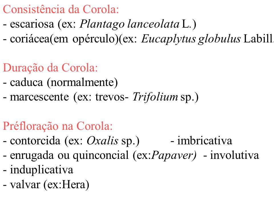 Consistência da Corola: - escariosa (ex: Plantago lanceolata L.) - coriácea(em opérculo)(ex: Eucaplytus globulus Labill.) Duração da Corola: - caduca