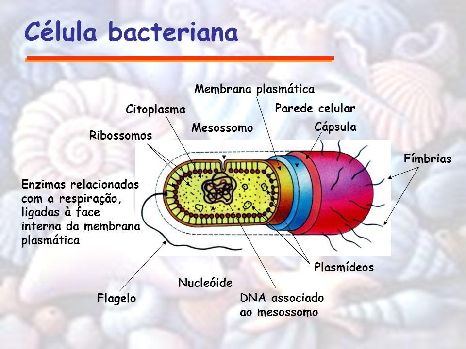 Célula bacteriana Fímbrias Cápsula Parede celular Plasmídeos DNA associado ao mesossomo Nucleóide Flagelo Enzimas relacionadas com a respiração, ligad