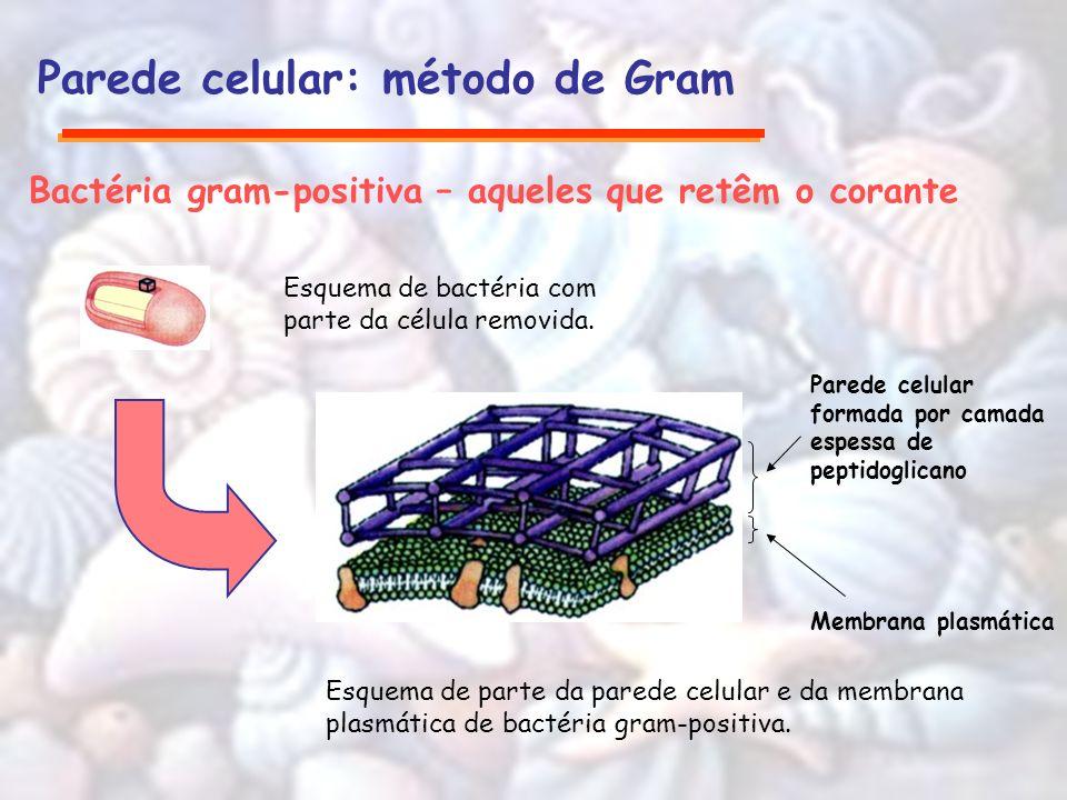 Parede celular: método de Gram Bactéria gram-positiva – aqueles que retêm o corante Esquema de bactéria com parte da célula removida. Membrana plasmát