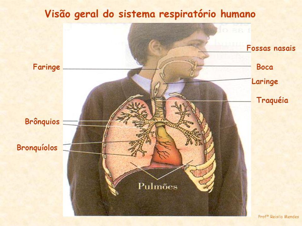 Fossas nasais Boca Laringe Traquéia Faringe Brônquios Bronquíolos Profª Reisila Mendes Visão geral do sistema respiratório humano