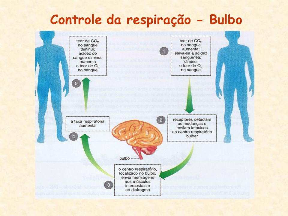 Controle da respiração - Bulbo