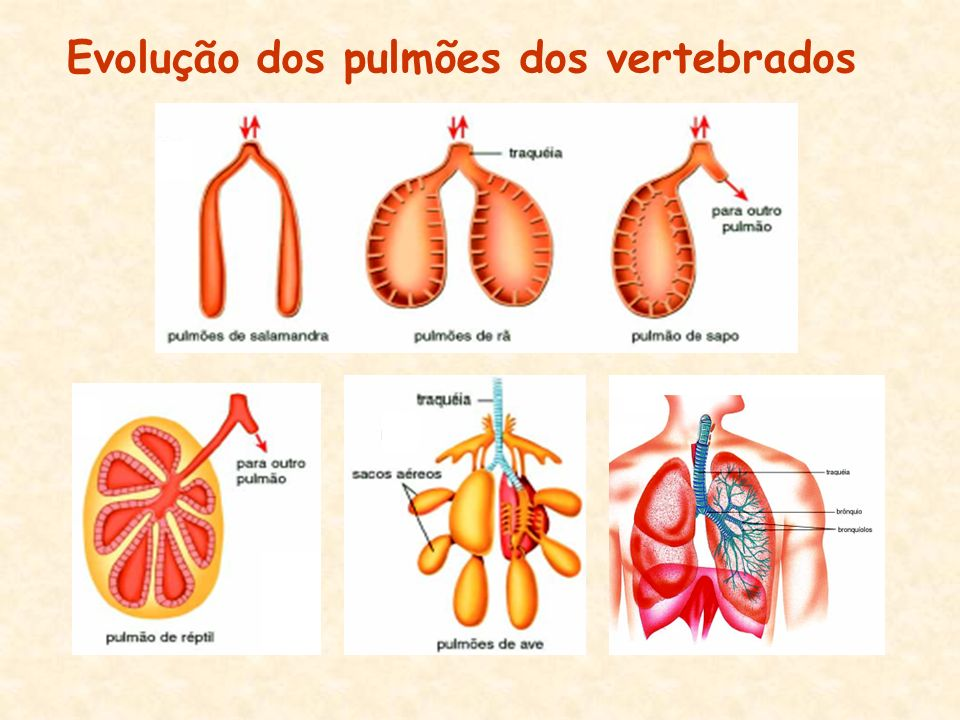 Evolução dos pulmões dos vertebrados