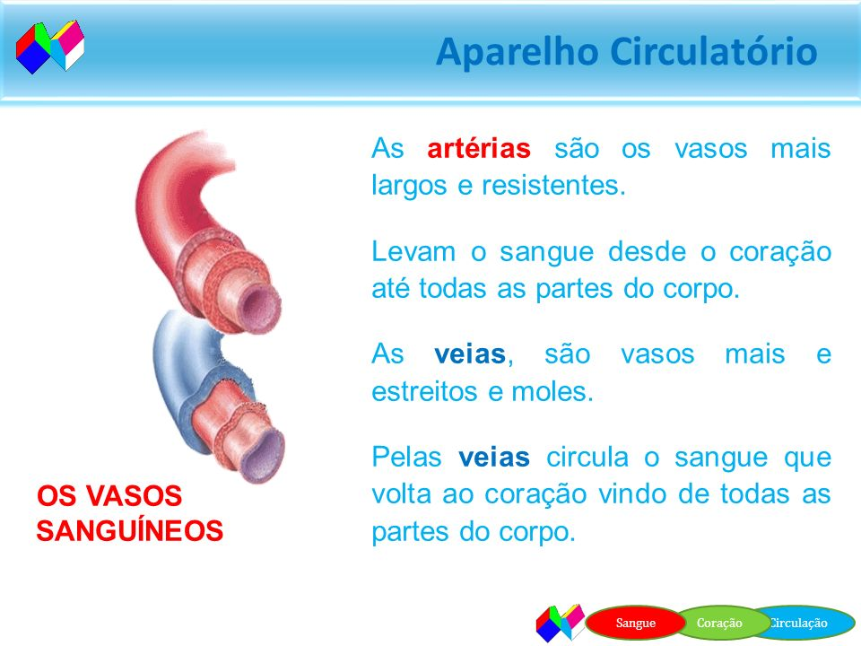 Aparelho Circulatório Fica situado entre os pulmões e tem o tamanho aproximado de um punho fechado. Ambos estão protegidos pelas costelas. O coração é