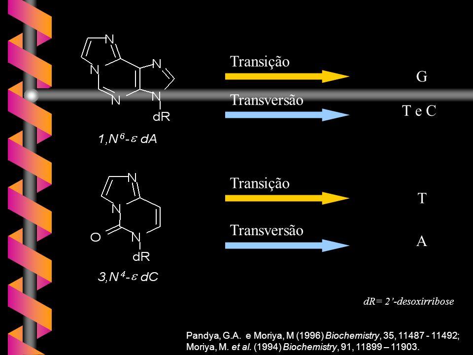 Pandya, G.A. e Moriya, M (1996) Biochemistry, 35, 11487 - 11492; Moriya, M. et al. (1994) Biochemistry, 91, 11899 – 11903. dR= 2-desoxirribose G Trans