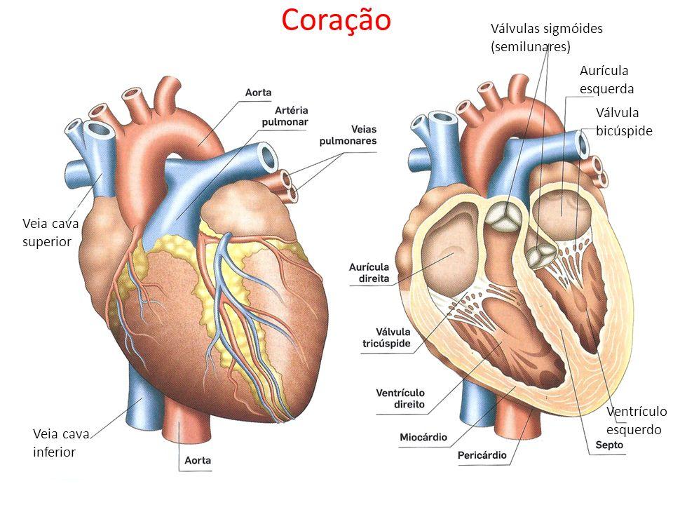 Coração Válvulas sigmóides (semilunares) Aurícula esquerda Válvula bicúspide Ventrículo esquerdo Veia cava superior Veia cava inferior