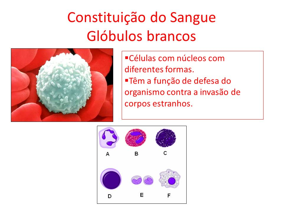 Constituição do Sangue Glóbulos brancos Células com núcleos com diferentes formas. Têm a função de defesa do organismo contra a invasão de corpos estr