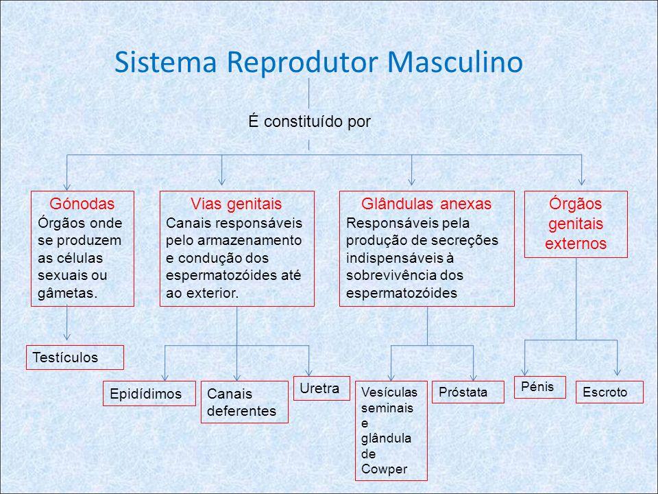 Sistema Reprodutor Masculino É constituído por Gónodas Órgãos onde se produzem as células sexuais ou gâmetas. Vias genitais Canais responsáveis pelo a