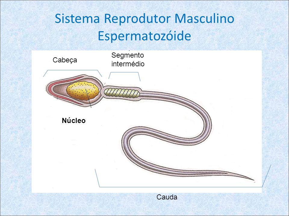 Sistema Reprodutor Masculino Espermatozóide Núcleo Cabeça Cauda Segmento intermédio