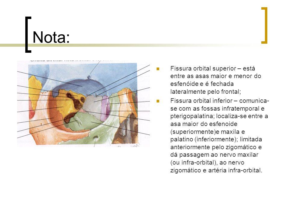 Nota: Fissura orbital superior – está entre as asas maior e menor do esfenóide e é fechada lateralmente pelo frontal; Fissura orbital inferior – comun