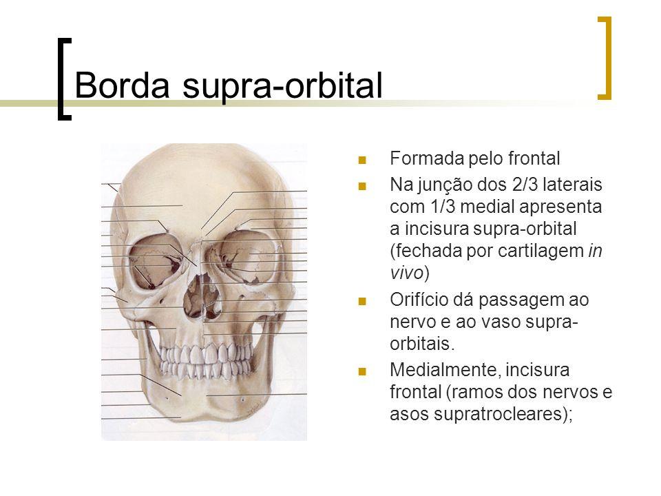 Borda supra-orbital Formada pelo frontal Na junção dos 2/3 laterais com 1/3 medial apresenta a incisura supra-orbital (fechada por cartilagem in vivo)