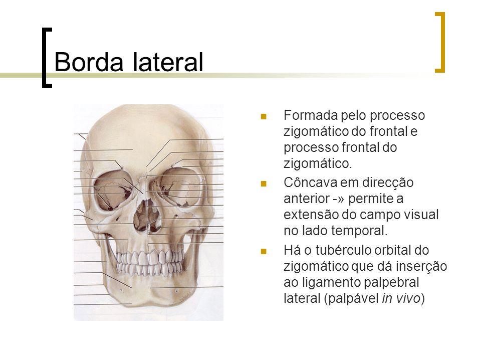 Borda lateral Formada pelo processo zigomático do frontal e processo frontal do zigomático. Côncava em direcção anterior -» permite a extensão do camp