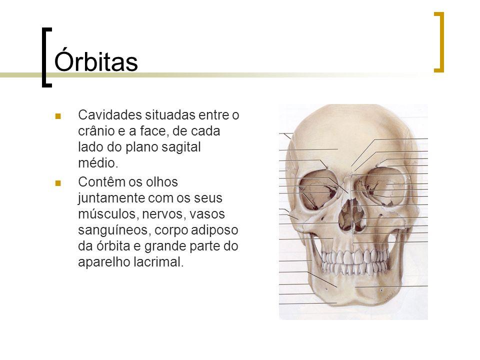 Órbitas Cavidades situadas entre o crânio e a face, de cada lado do plano sagital médio. Contêm os olhos juntamente com os seus músculos, nervos, vaso